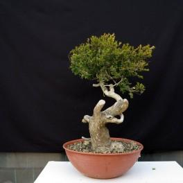 buxus sempervirens yamadori 2