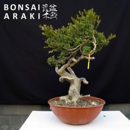buxus sempervirens yamadori
