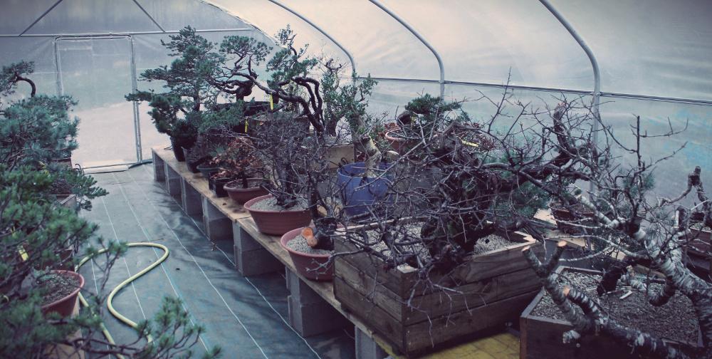 pépinière bonsai araki