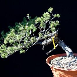 pin sylvestre yamadori 2