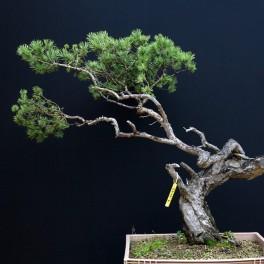 pin sylvestre - 05