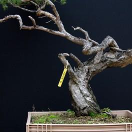pin sylvestre - 06