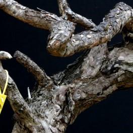 pin sylvestre - 07