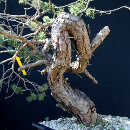 pin sylvestre tronc mouvementé 3