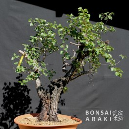 prunus-mahaleb-bonsai