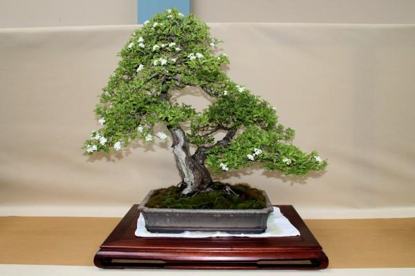 aubépine bonsai eba wroclaw 2014