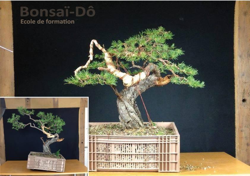 mise en forme yamadori pin sylvestre
