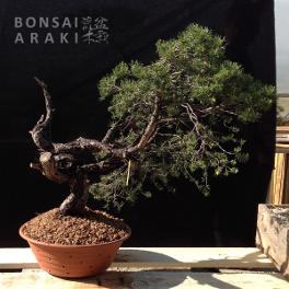 pin sylvestre yamadori à vendre