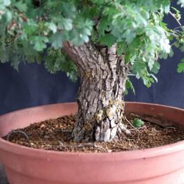 aubepine yamadori bonsai