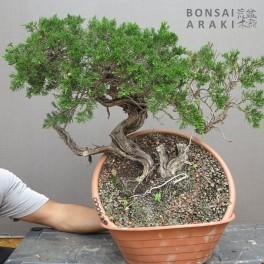 juniperus sabina chuchin