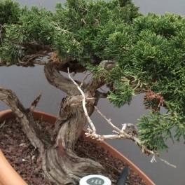 juniperus sabina 04-9-03
