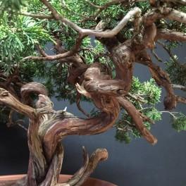 juniperus sabina - 04 - s03