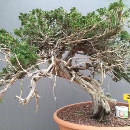 juniperus sabina 05-2-04