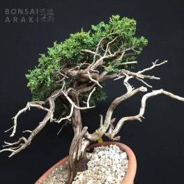 juniperus sabina yamadori 08