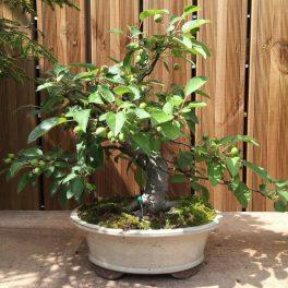 bonsai classique - 02