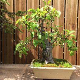 bonsai classique - 03