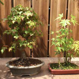bonsai classique - 05