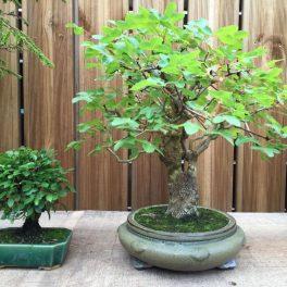 bonsai classique - 07
