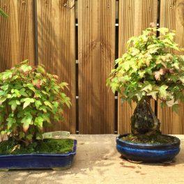 bonsai classique - 09